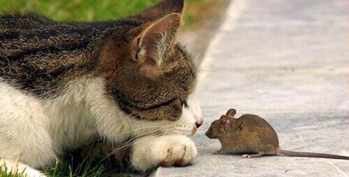 кот смотрит на мышку