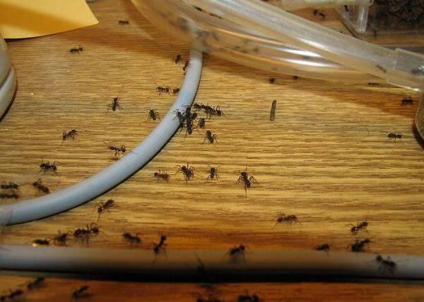 Нашествия муравьев в квартире или доме