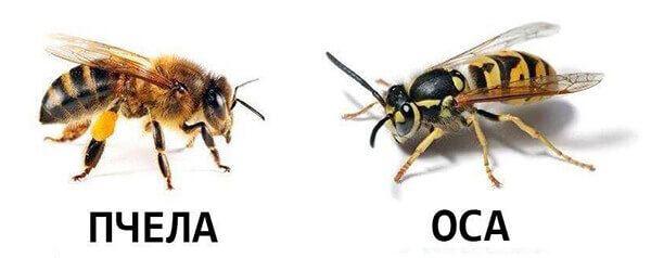 фото пчелы и осы