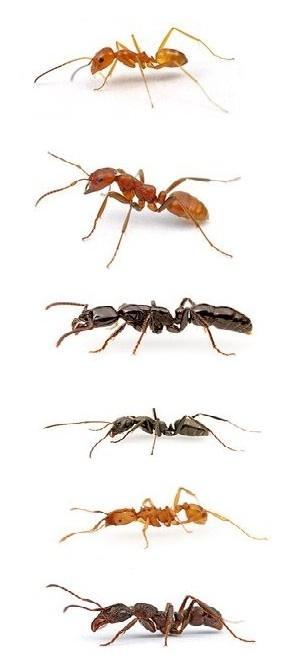 виды муравьев на участке