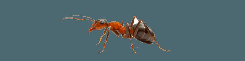 Дезинфекция от муравьев в квартире, травля муравьев