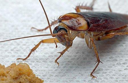 фотография рыжего таракана