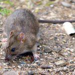 Профессиональная травля крыс